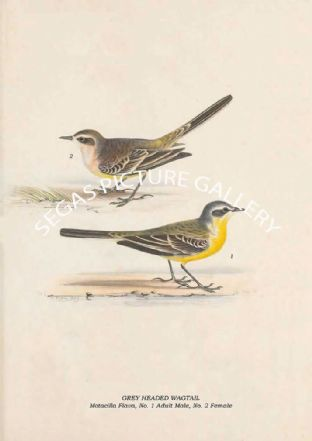 GREY HEADED WAGTAIL - Motacilla Flava, No. 1 Adult Male, No. 2 Female
